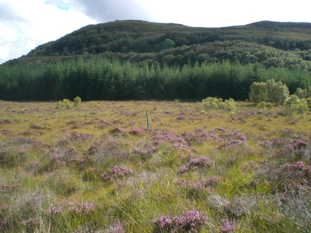 Meadow of Heather