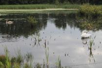 Swans in the Wetlands