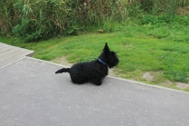 Someone's Scottie